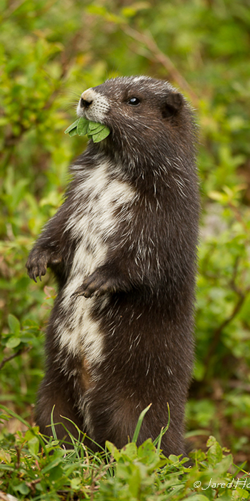The Vancouver Island Marmot Recovery Foundation