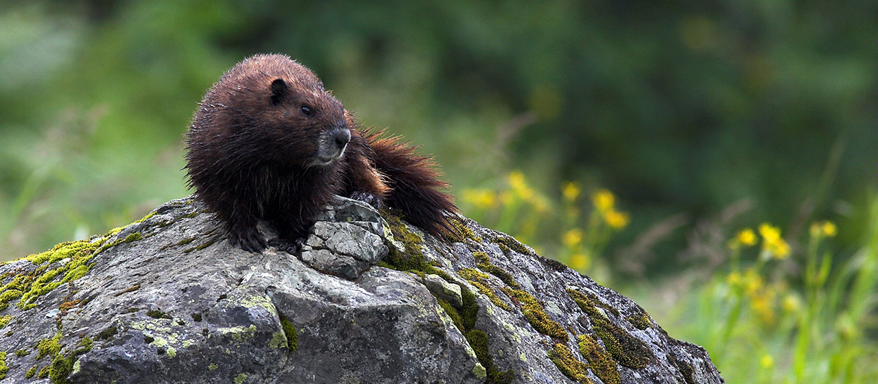 Animal Profile | The Vancouver Island Marmot Recovery Foundation