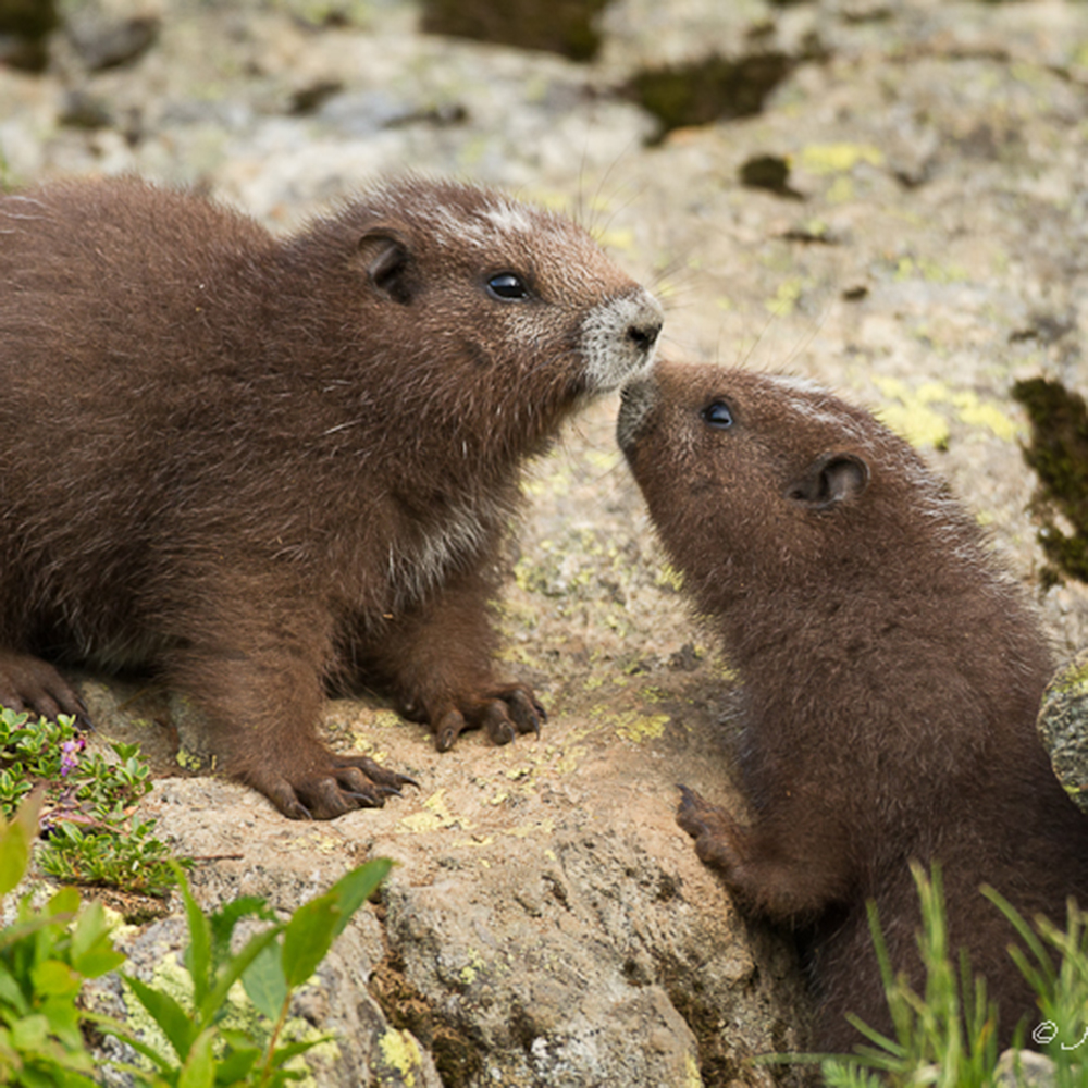 The Vancouver Island Marmot Recovery Foundation ...