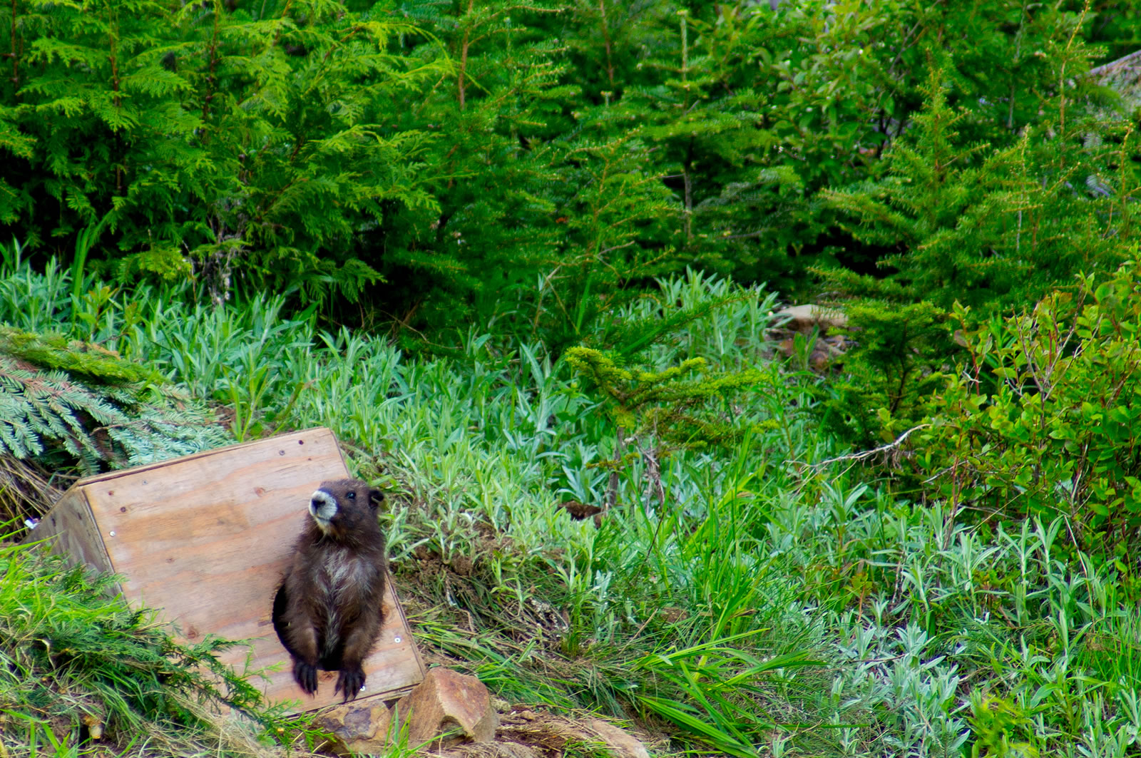 marmots, mt washington 031-Editsm