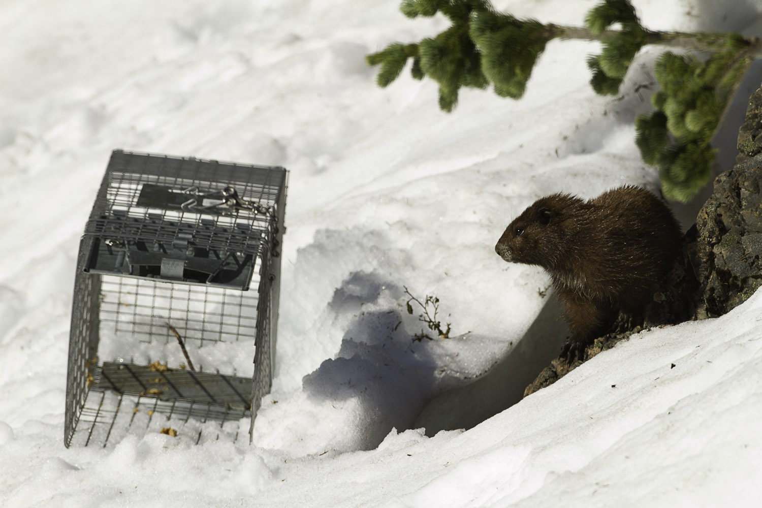 https://marmots.org/Rescue%20Marmots