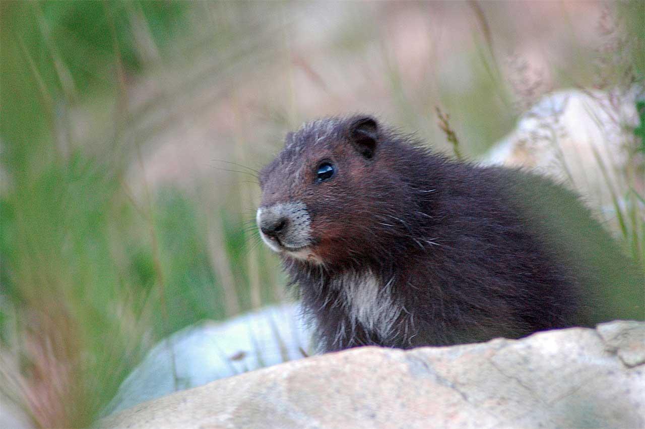 vancouver island marmot   The Vancouver Island Marmot ...
